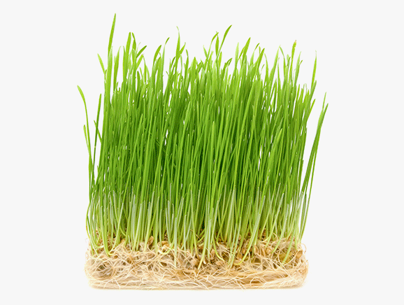 Whatgrass from Germany - YourSuperFoods Ingredient