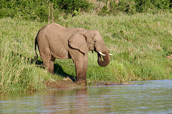 Elephant along the shore of Lake St Lucia in the iSimangaliso Wetland Park, St Lucia KwaZulu Natal South Africa.