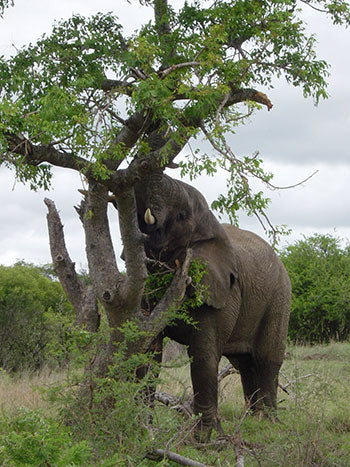 A mighty elephant raiding a tree of its uppermost succulent leaves. They love the fresh tender young shoots especially.