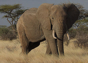 The largest land animal, the African elephant, stands proud and tall on his native savannah of Africa.