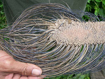 About two hundred times thicker than human hair, elephant hair is hard to survive the harsh environment of the African plains.