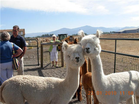 SofiaAlpaca for sale in Montana, USA