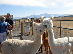 Spend a day with alpacas