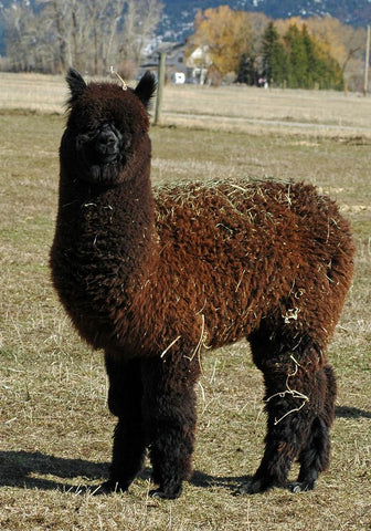 Wowesha alpaca for sale - Montana, USA