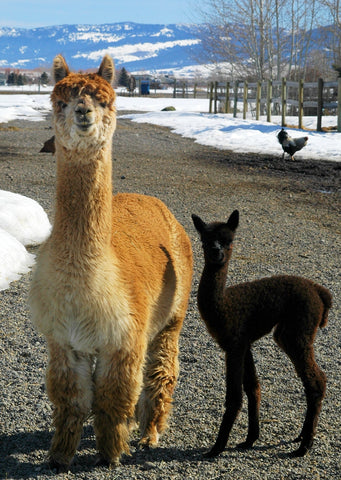 Gallalia Alpaca for sale in Montana, USA