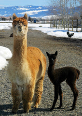 How long is the alpacas' gestation and how long do they live?