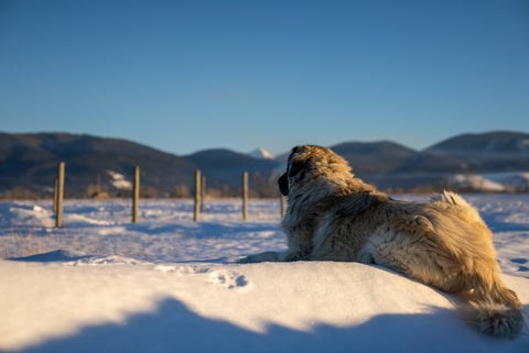 guard dog laying in the snow