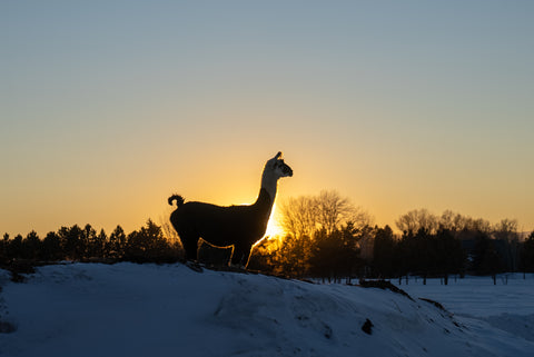 guard llama in the sunset