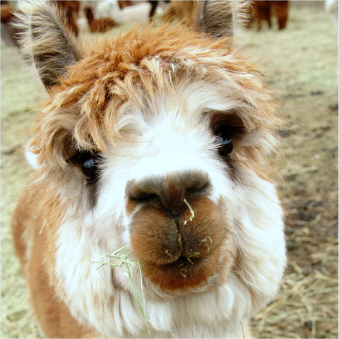 Breding alpacas - the facts