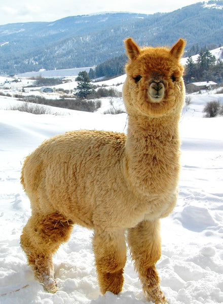 Visit our Alpaca farm this July!