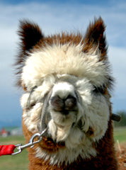 Breding alpacas - the tax facts & regulations