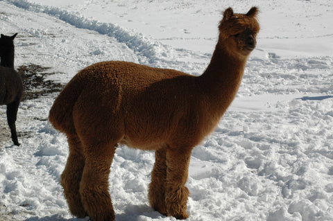 Molly Brown Alpaca for sale in Montana, USA