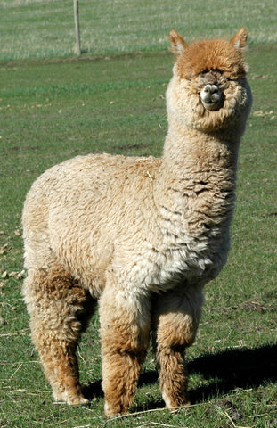 Why is there such a difference in alpaca prices with each farm?