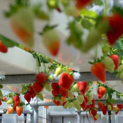 hydroponically grown strawberries
