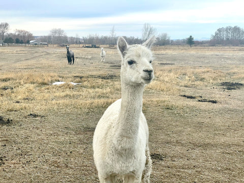 white alpaca named Carrie in pasture