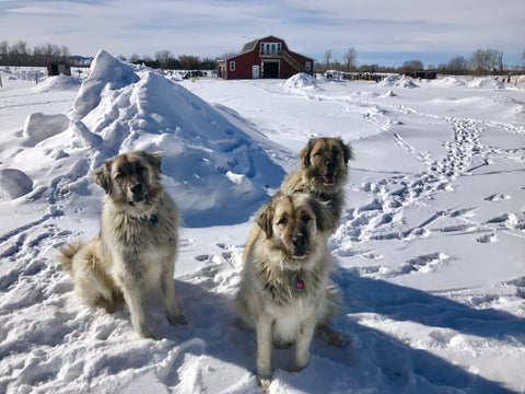 three anatolian shepherd guard dogs sitting in the snow at alpaca farm
