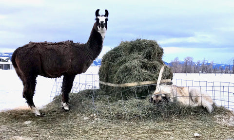 brown and white guard llama next to pile of hay where anatolian shepherd is sleeping