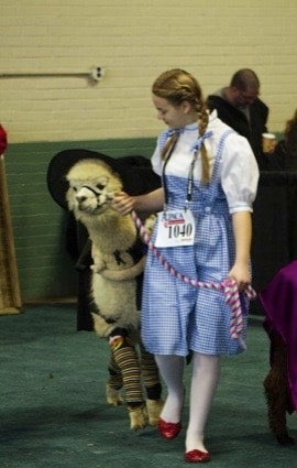 alpaca dressed up in wizard of Oz costume for show