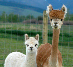 Breeding Alpacas and Tax Implications