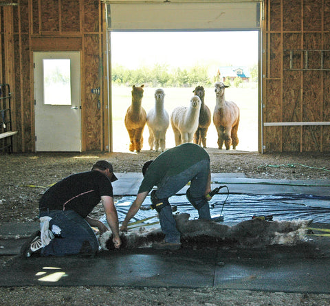 Alpaca shearing in Spring