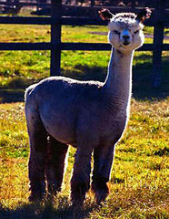 Daughter Alpaca