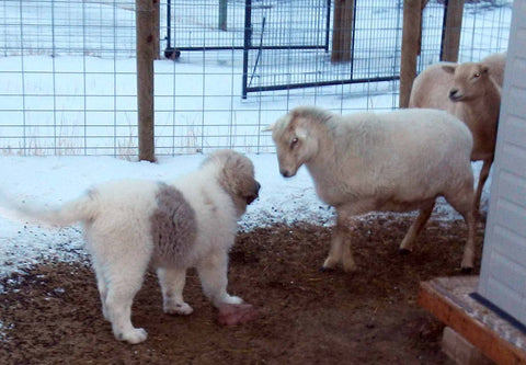 white and brown puppy approaching a sheep