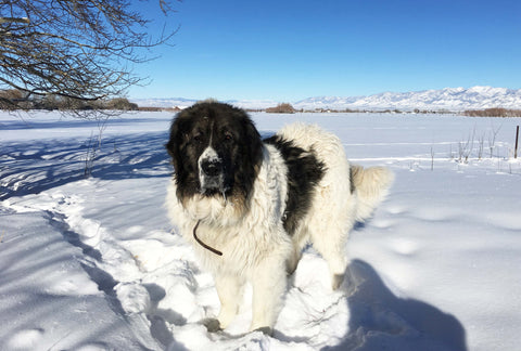 black and white guard dog in the snow