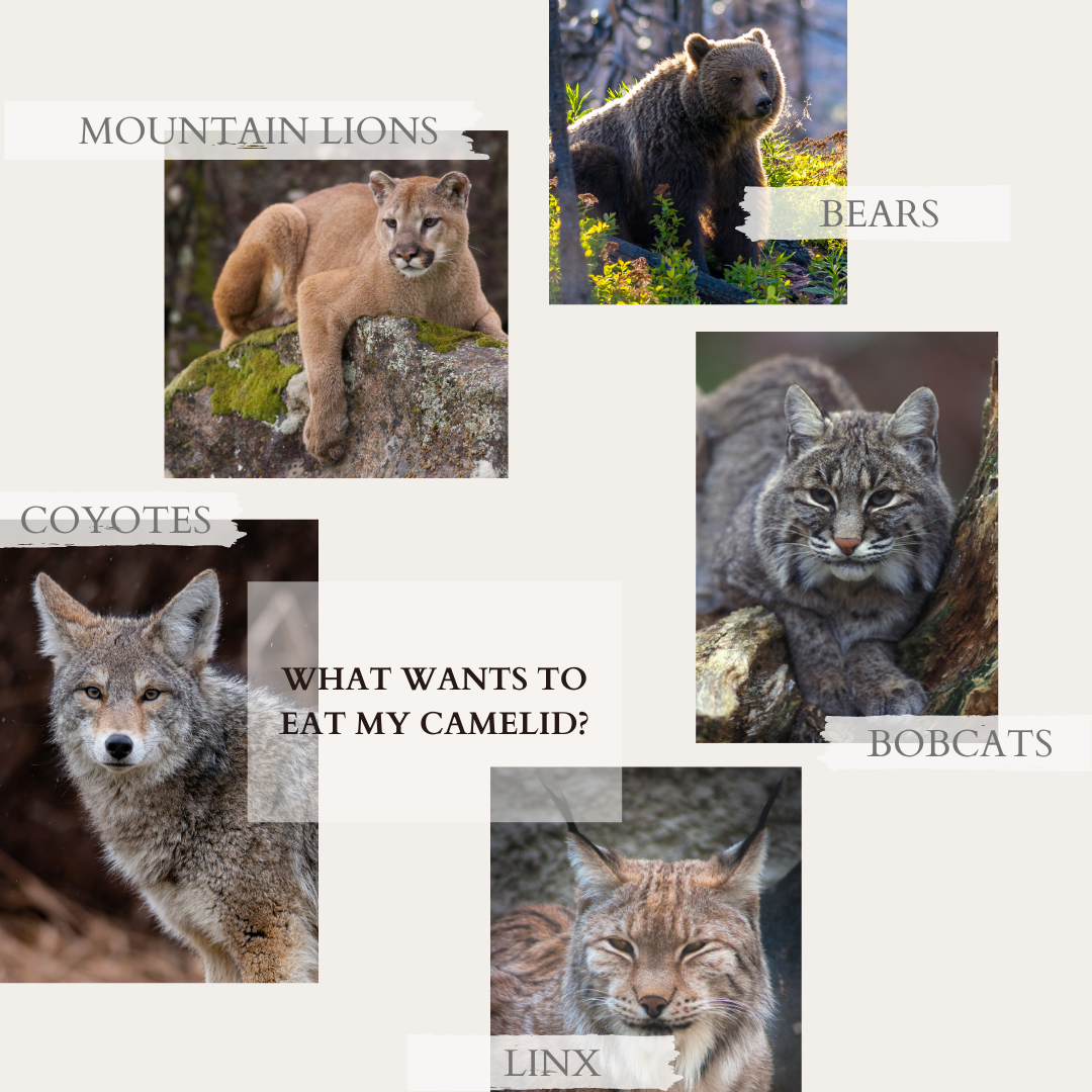 what wants to eat my camelid infograph: mountain lions, bears, linx, bobcats, coyotes