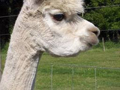 white alpaca with tooth infection