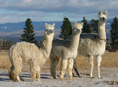 two white alpacas and a white llama standing looking to the right
