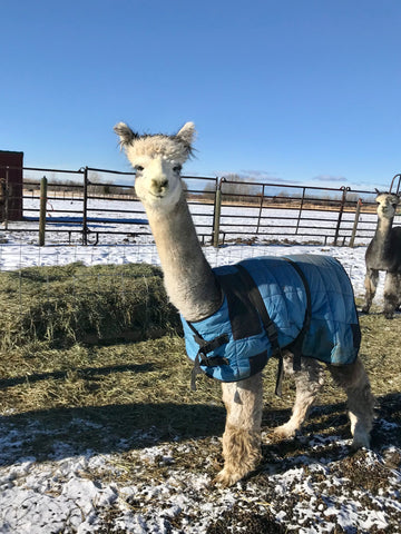 silver gray alpaca, argus, with blue coat on