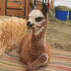 baby alpaca laying on a blanket in a barn
