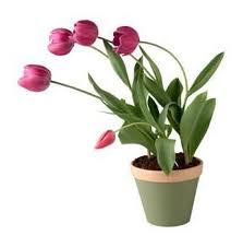 pink blooming tulips in a pot