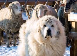 livestock guard dog and anatolian shepherd to protect alpaca and goats