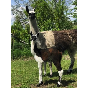 mother and baby llama cria