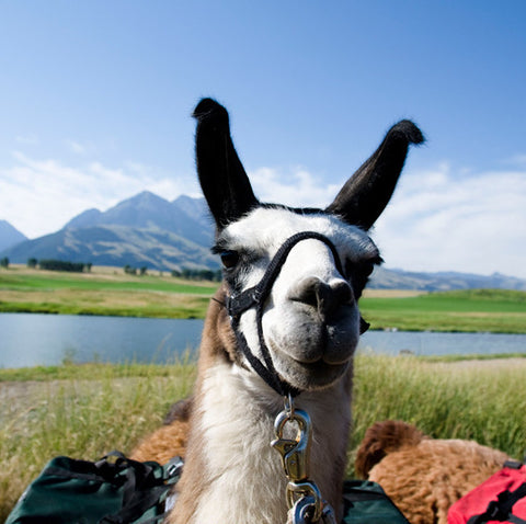 packing llama for hiking in montana
