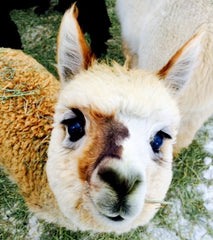 Raising alpaca for profit