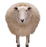white sheep representing sheep manure