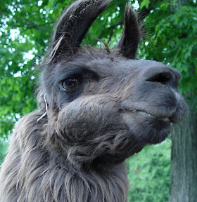 gray llama with large tooth infection