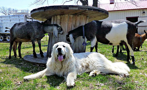 Great Pyrnees Anatolian Guard dog protecting goats