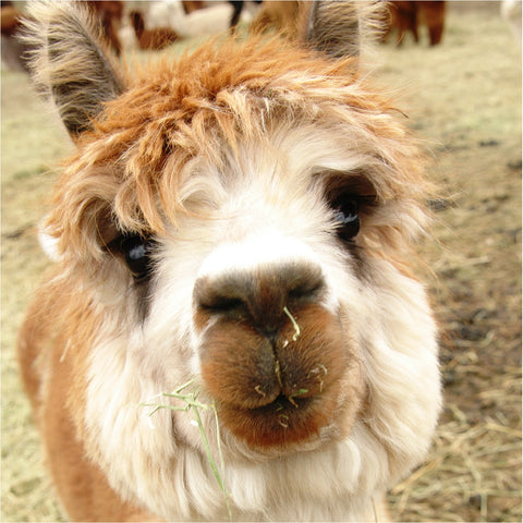Alpaca open house ticket