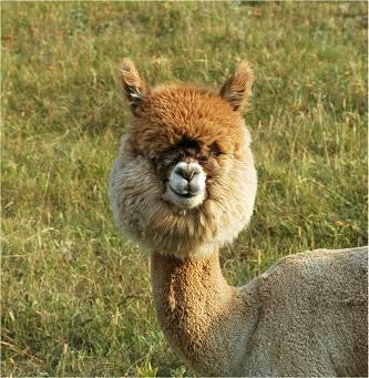 fawn colored alpaca looking at camera
