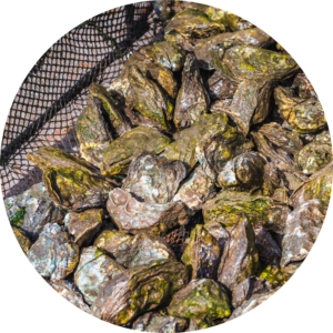Although oysters are from the kingdom of Animalia they do not have a central nervous system and are sedentary for their lifespan.