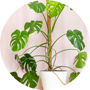 Indoor plant Monstera Delicosa trails of a trellis in its white planter against a pink background.