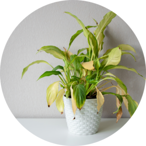 Indoor houseplant with yellowing and wilted leaves from overwatering.