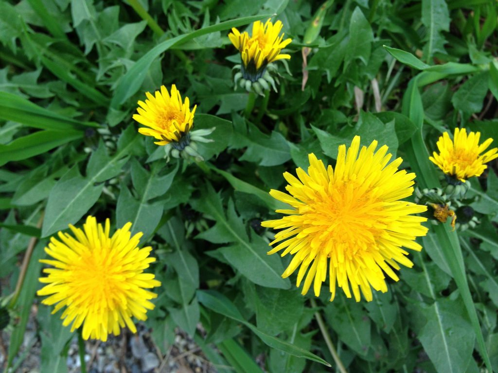 Herbal Surprises: DANDELION