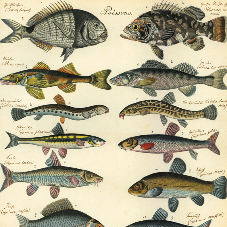 Natural History Fish Wrapping Paper (Click-and-Collect only)