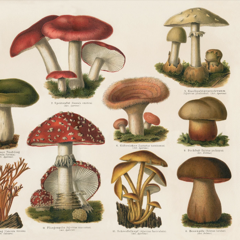Red Mushrooms Encyclopedia Print
