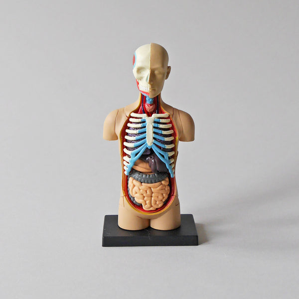 Body Anatomy Model