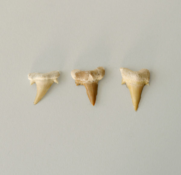 Shark Tooth Fossil